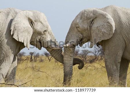 elephants treat each other tenderly