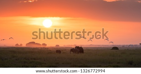 Elephants walk across the marshes of Amboseli National Park, Kenya, at sunrise. They have egrets perched on their backs and flying behind them.
