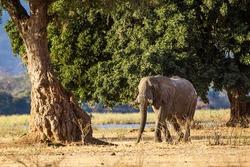 Elephants walking and feeding on the Zambesi plain in Zimbabwe