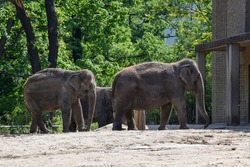 Elephants walking in the Park among trees with green leaves. Berlin. Germany