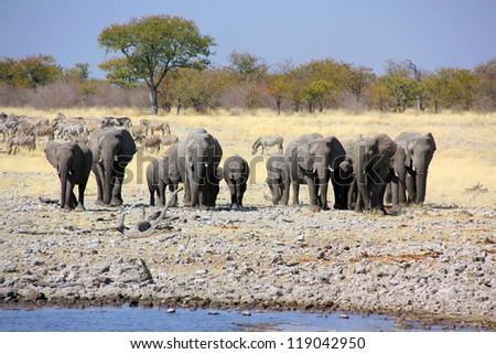 Elephants walking to a waterhole