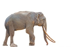 Elephants with large bodies have long tusks protruding in white. There are chains on the legs and the elephants have water coming out of their eyes and a white background is used as an illustration.