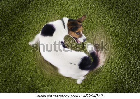 Elevated view of Jack Russell terrier chasing tail view on grass Сток-фото ©