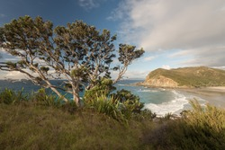 Elevated view of the deserted, sandy beach at Matai Bay in late afternoon light with a pohutukawa tree on the cliff in the foreground, Karikari Peninsula, Northland, New Zealand.