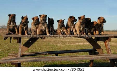 eleven puppies purebred belgian shepherds malinois on a table