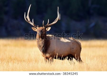 Elk #38345245