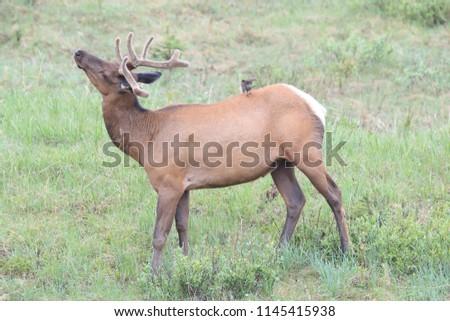 Elk against the  Brown-headed Cowbird, the Elk scare away the  Brown-headed Cowbird , Canada