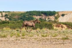 Elk (Alces alces). Running female moose. Wild animal in a natural habitat. Wildlife of Chukotka. Siberia, Far East of Russia.