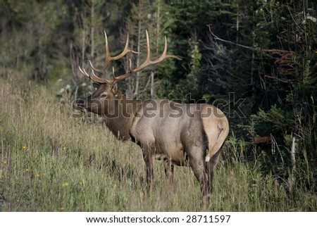 Elk antlers glowing in sunlight