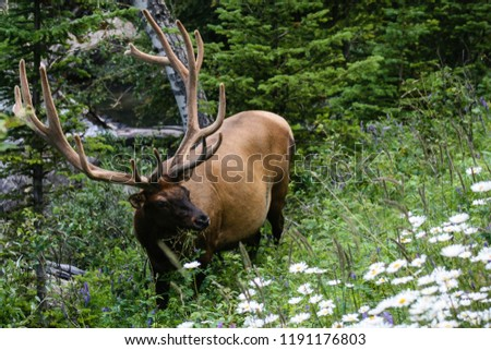 Elk at Jasper National Park in Alberta, Canada.