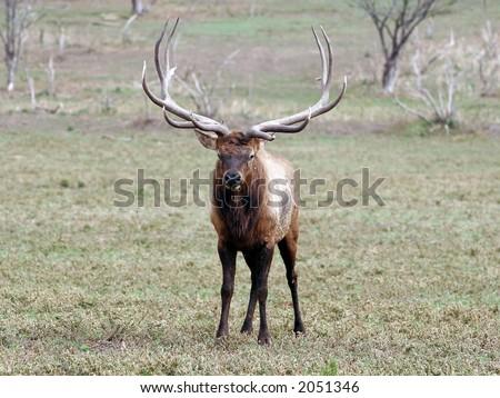 Elk, Bugle, Deer, Antlers, Herd, Caribou, moose, Bull, Cow