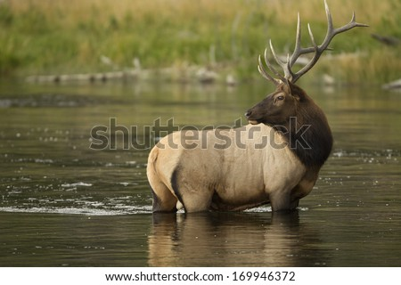 Elk, bull, Cervus canadensis, Yellowstone National Park, Wyoming, Montana, USA