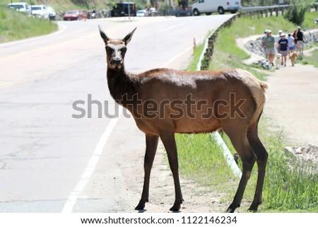 Elk Crossing the Road. Animal X-ing