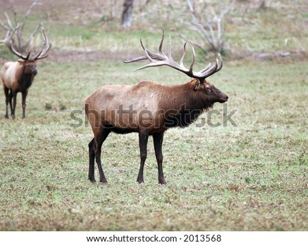 Elk, Deer, Antlers, Herd, Caribou, moose, Bull, Cow