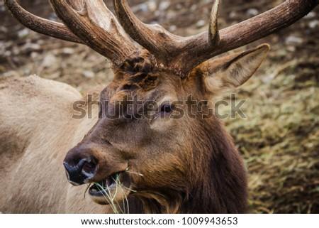 elk eating grass #1009943653