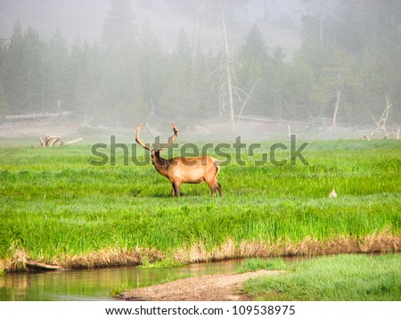 Elk fawn grazing in a meadow near a river in Yellowstone National Park - USA