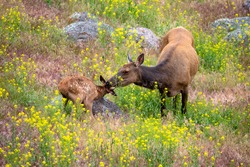 Elk feed its calve in yellow stone park