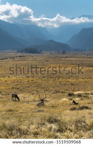 Elk grazing in the Moraine valley Rocky Mountain National Park.  Pictured looking towards mountains on a sunny autumn afternoon