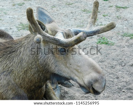 Elk head close up photo