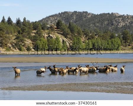 Elk herd in Estes Park , Colorado