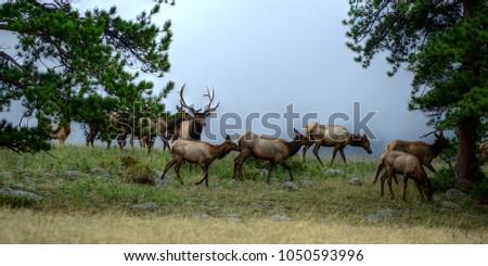 Elk Herd in Rocky Mountain National Park, Colorado