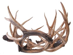 elk horns isolated on a white background. Elk antlers.