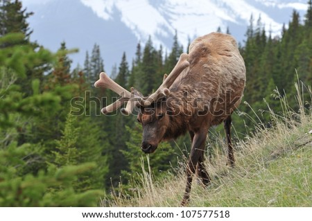 Elk in Banff National Park, Alberta, Canada