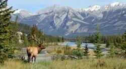 Elk in Jasper National Park, Alberta, Canada