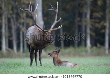 Elk in Pennsylvania