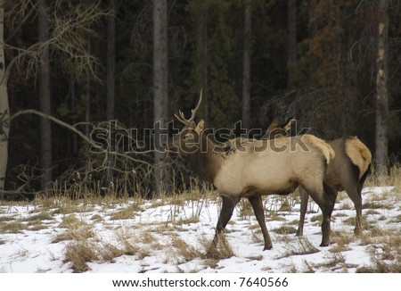 Elk in snowy field at the edge of a forest