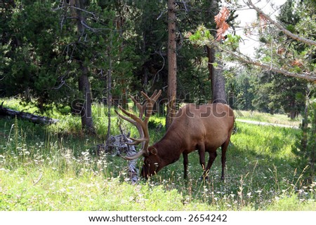 Elk in Yellowstone National Park - stock photo