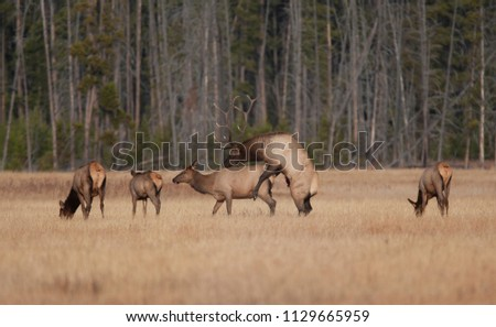 Elk mating in Yellowstone National park