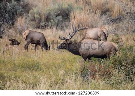 Elk near the Gardiner River in Yellowstone National Park