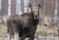 Elk or Moose, Alces alces in the swamp during rainy day. Wildlife. Animal in its natural habitat.