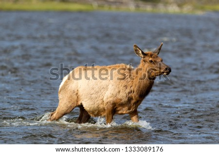 Elk or Wapiti (Cervus canadensis), crossing the river, Yellowstone National Park, Wyoming, Montana and Idaho, USA.