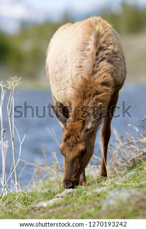 Elk or Wapiti (Cervus canadensis), Yellowstone National Park, Wyoming, Montana and Idaho, USA.