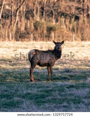 Elk posing for photo