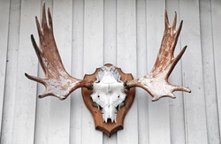 Elk scull with horns hanging on white wooden wall as a hunters trophy