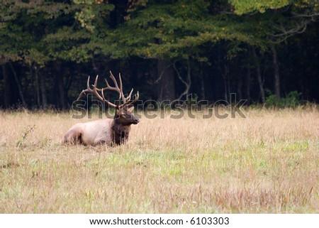 Elk Sitting in the Field