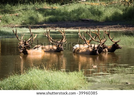 Elk taking a bath in a pond