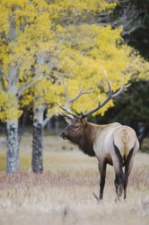 Elk, Wapiti, Cervus elaphus, bull with aspentrees with fallcolors, Rocky Mountain National Park, Colorado, USA, September