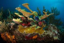 Elkhorn coral (Acropora palmata) on the Maze dive site off the island of Sint Maarten, Dutch Caribbean