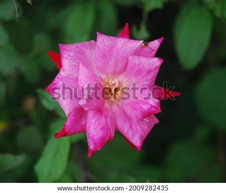 Elle Rose flower (Rosa Hybrid Tea 'Elle')  Stock fotó ©
