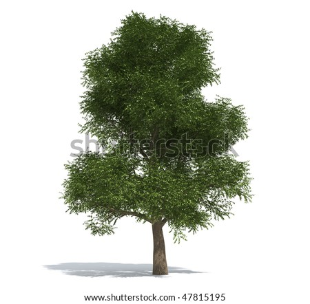 elm tree pictures. stock photo : Elm tree