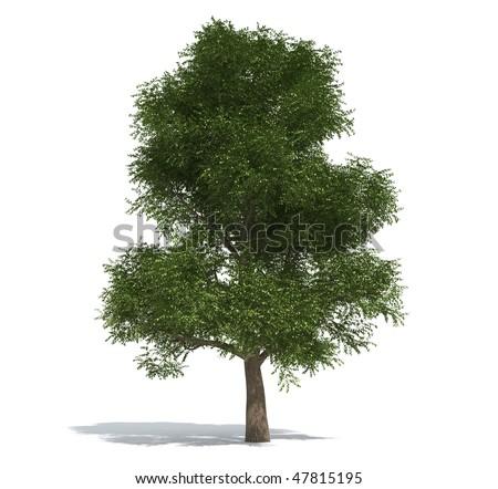 elm tree pictures. stock photo : Elm tree