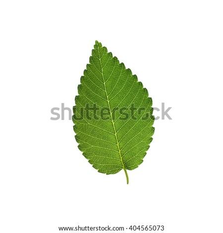 Elm tree leaf isolated on white background