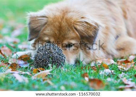 Elo dog is surprised to find a prickly hedgehog in the meadow