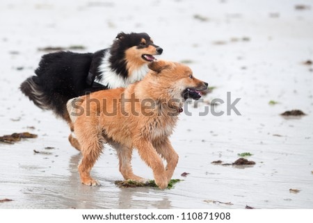 Elo puppy and a Collie run together at the beach