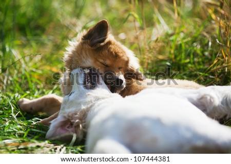 Elo puppy bites a Golden Retriever in the neck
