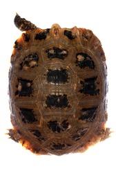 elongata Elongated tortoise isolated in white